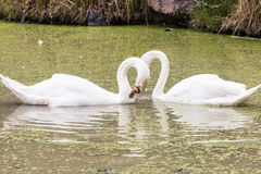 White goose. In pond royalty free stock images