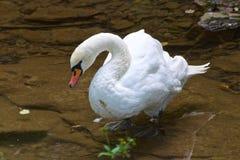 White goose at the pond in Bosnia & Herzegovina. Europe royalty free stock photos