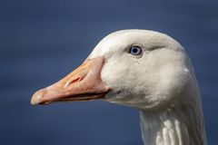 White Goose in Poughkeepsie, NY. A white goose in a pond in Poughkeepsie, NY The Hudson Valley. This image was taken by Debbie Quick from Debs Creative Images stock image