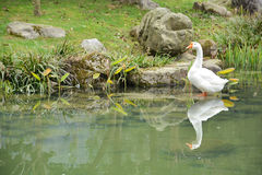 White goose in the pond Royalty Free Stock Images