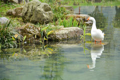 White goose in the pond. Reflection of white goose in the pond royalty free stock images