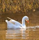 White Goose. On pond at restaurant in Skeerpoort near Johannesburg stock images