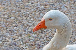 White goose portrait. Portrait of goose on stones background Stock Image