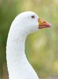 White goose. Portrait of white goose outdoors stock photo