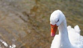 White goose portrait. Stock Photos