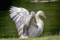 White Goose in Poughkeepsie, NY. A white goose in a pond in Poughkeepsie, NY The Hudson Valley. This image was taken by Debbie Quick from Debs Creative Images stock photo