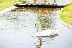 White goose. On a pound in garden stock image