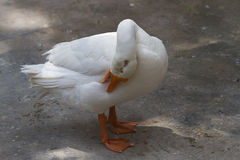 A white goose preening. Photo of a white goose preening it`s feathers stock photo