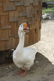 White goose on pticam the yard Stock Photography