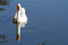 White goose. Reflected in the water Royalty Free Stock Image