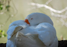 White goose resting. White goose  curled up resting along side of a lake Stock Photography
