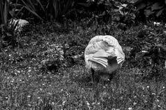 White goose`s back stock photo