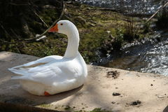 White goose. On side of water Royalty Free Stock Photo