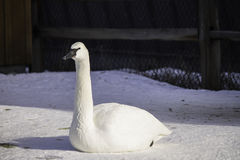 White Goose. This White goose sits quietly in the snow Stock Photos