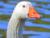 A white goose sleeps in the lake with one paw up. Portrait of a blue eyed white goose looking to the camera stock photo