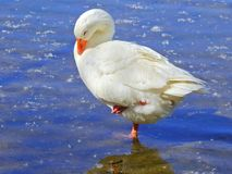 White goose sleeping royalty free stock photography