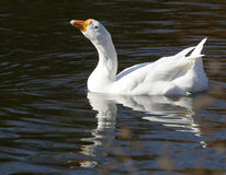 White Goose Smiles in the Water Stock Photos