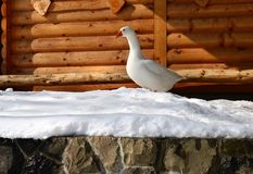 White goose in the snow. One white goose in the snow stock photo