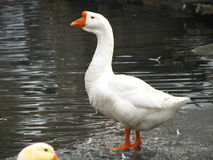 Free White Goose Standing Stock Images - 12802874