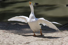 White goose standing near the lake. White goose neck stretched out and spread its wings Stock Image