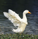 White goose standing on the shore of the pond to spread its wings Royalty Free Stock Images