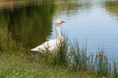White goose standing in the tall grass near the water. Farm scene of domestic fowl royalty free stock image