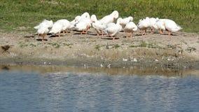 White goose stock footage