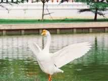 White goose. A white goose stands in a garden pond royalty free stock photo