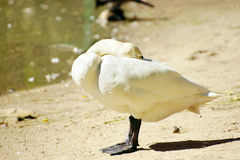 White goose stands at a lake shore and hides his head Royalty Free Stock Image