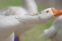 White goose stretching Royalty Free Stock Image