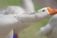 White goose stretching. Neck royalty free stock image