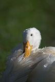 White goose sunbathing. Head of a white goose highlighted as it sits and sunbathes in grass Royalty Free Stock Photos