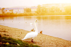 White Goose at sunset near the lake. In the summer sun stock photography