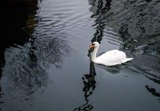 White Goose swimming in Lake. White Goose swimming in a dark Lake stock image