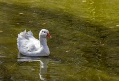 White Goose swimming and feeding on a lake. Its reflection showing in the water royalty free stock photo