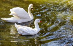 White Goose swimming and feeding on a lake. Its reflection showing in the water stock photography