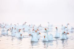 White goose. Swimming Geese. Domestic geese swim in the pond. Flock of geese on the river.  royalty free stock images