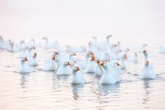White goose. Swimming Geese. Domestic geese swim in the pond. Flock of geese on the river.  stock photos