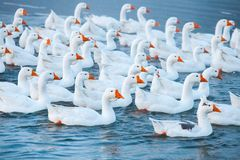 White goose. Swimming Geese. Domestic geese swim in the pond. Flock of geese on the river.  stock photography