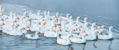 White goose. Swimming Geese. Domestic geese swim in the pond. Flock of geese on the river.  royalty free stock photos