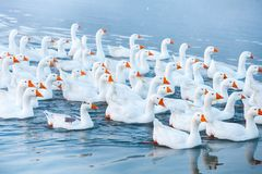 White goose. Swimming Geese. Domestic geese swim in the pond. Flock of geese on the river.  stock image