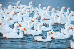 White goose. Swimming Geese. Domestic geese swim in the pond. Flock of geese on the river.  stock images