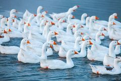 White goose. Swimming Geese. Domestic geese swim in the pond. Flock of geese on the river.  stock photo