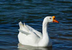White Goose Swimming in a Keene Pond. White goose swimming in the pond in Keene, Texas royalty free stock images