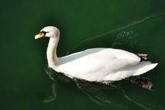 White goose swimming in a lake. Closeup stock image
