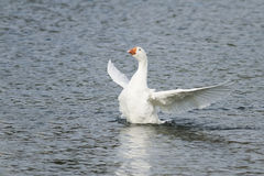 White goose swimming on a lake with its wings outstretched stock photos