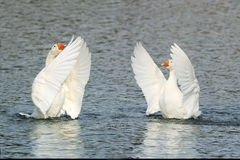 White goose swimming on a lake with its wings outstretched. Two white goose swimming on a lake with its wings outstretched royalty free stock images