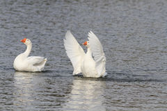 White goose swimming on a lake with its wings outstretched. Two white goose swimming on a lake with its wings outstretched stock image