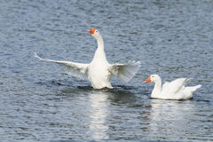 White goose swimming on a lake with its wings outstretched. Two white goose swimming on a lake with its wings outstretched royalty free stock photos