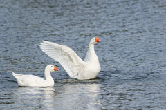 White goose swimming on a lake with its wings outstretched. Two white goose swimming on a lake with its wings outstretched royalty free stock photo